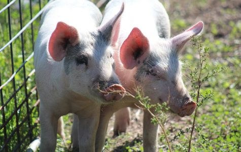 Pig Pals <br>Photo of the Day &#8211; Sept. 22