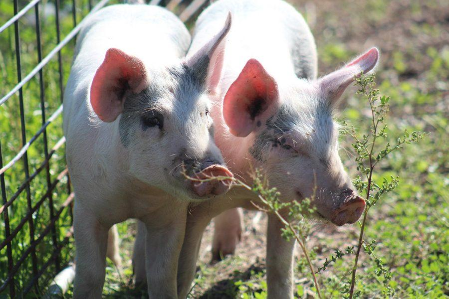 The livestock production pigs, which arrived yesterday, Sept.21, try to stick together today and avoid members of the class who must give them necessary flu and erysipelas injections to prevent possible viruses and diseases. The class named their pigs Hilary and Chrissy.