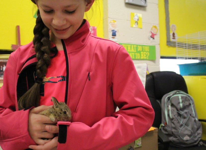 Sixth-grader Ali Friemel cuddles her new friend, which took up its own spot as a stow-away in her unzipped backpack before she left home. This morning, April 12, Friemel thought she heard something in her bag while traveling to school on the route bus. After unzipping her bag, she found a baby bunny in her bag. When asked where the bunny came from sixth-grade teacher Jennifer Carter responded,